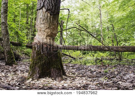 Tree with the marks of beaver teeth.