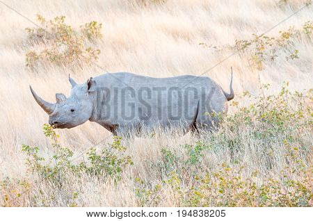 An endangered black rhino Diceros bicornis between grass in Namibia