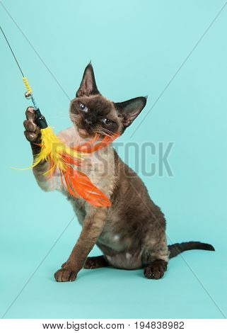 Playful seal point devon rex cat with blue eyes looking straight into the camera catching a feathered toy on a mint blue background