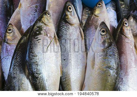 Fresh Sea Bass fish on display at market.