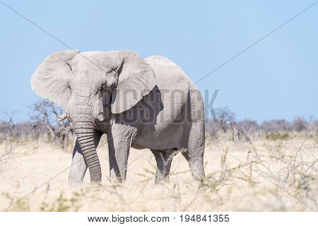 A white African elephant Loxodonta africana walking in Northern Namibia. It is covered with white calcrete dust