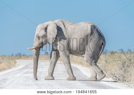 A white African elephant Loxodonta africana walking across a road in Northern Namibia. It is covered with white calcrete dust