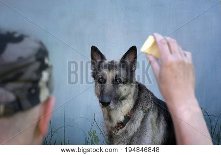 Dog seriously staring at the piece of cheese in a hand of dog trainer. Focus in the background