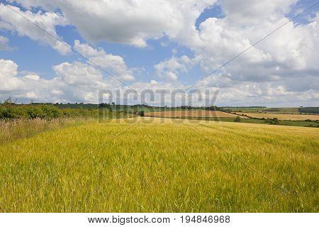Golden Barley Landscape