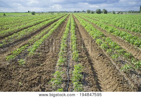 Young tomato plants planted in two lines each furrow. Drip irrigation system for saving water poster