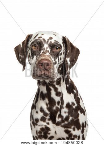 Brown spotted dalmatian dog portrait facing the camera isolated on a white background