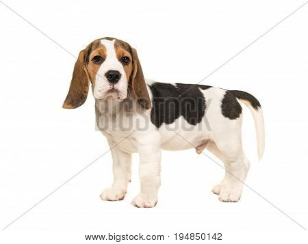 Standing beagle puppy seen from the side facing the camera isolated on a white background