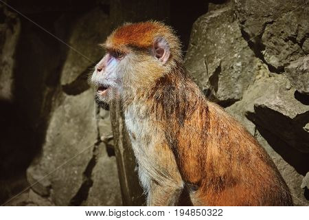 Portrait of Patas Monkey against Rocky Background
