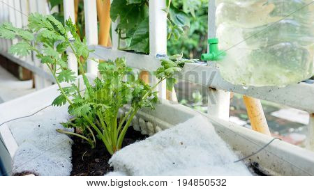 Grow coriander in a pot andanging small plant hanging on the iron fence in the house with small water faucets attached to the water bottle at the time of rain it has added water.