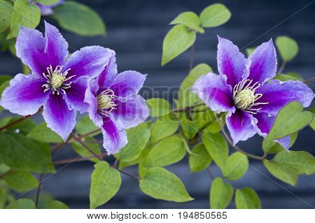 View of aPurple Clematis on a diffused background