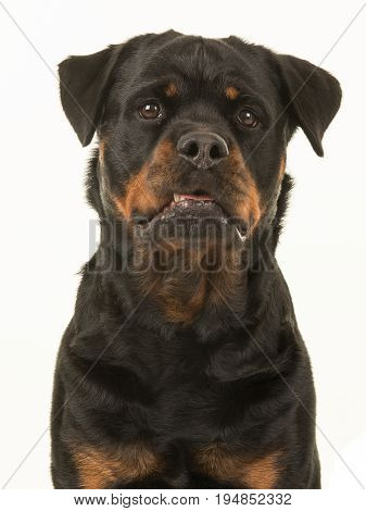 Cute and funny looking female rottweiler portrait facing the camera on a white background