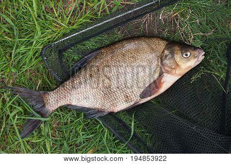Single Freshwater Fish Common Bream On Black Fishing Net..