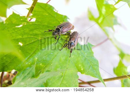 European Beetle Pest - Common Cockchafer (melolontha) Also Known As A May Bug Or Doodlebug On Maple