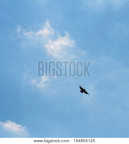 Common Buzzard Silhouetted In Flight