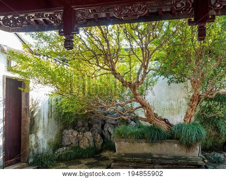 Suzhou, China - Nov 5, 2016: Master of Nets Garden (Wang Shi Yuan) - Front view of an old tree planted in a rectangular pot. In a quiet area of the garden.