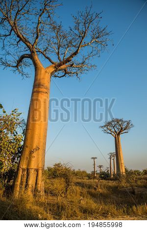 Group of young baobabs at dusk Madagascar