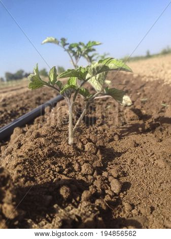Young tomato plant growing with irrigation system in action. Visible wet soil