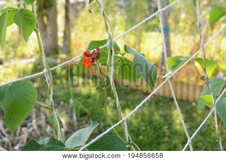 Red Flowers On Runner Bean Vine, Growing Up Netting