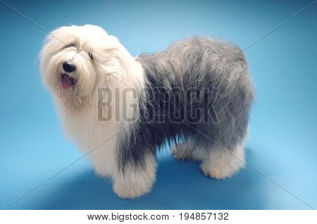 Full length side view of Old English Sheepdog standing on blue background