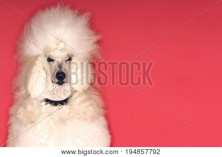 Closeup portrait of groomed White Standard Poodle on red background