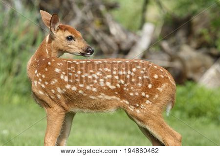 Baby White-tailed Deer (Odocoileus virginianus) on a lawn