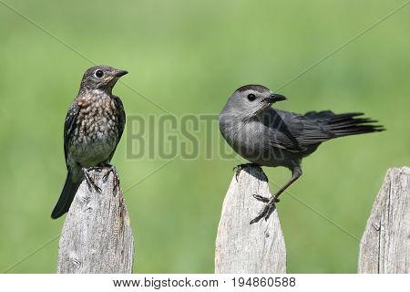 Baby Eastern Bluebird (Sialia sialis) and Gray Catbird (Dumetella carolinensis) on a fence