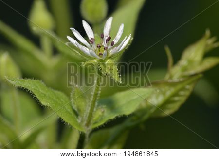 Water Chickweed - Myosoton Aquaticum