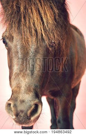 Extreme closeup of a brown horse against pink background