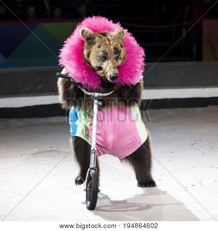Circus bear riding a Bicycle.