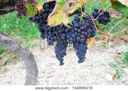 a Vines with bunches of red grapes