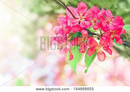 Greeting card with copyspace. Red apple flower malus on a branch. Airy beautiful blooming apple tree.