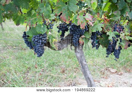 Large Bunch Of Red Wine Grapes Hang From A Vine With Green Leaves. Nature Background With Vineyard C