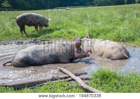 Pigs lie in a mud puddle. Pigs are happy. Farm life.