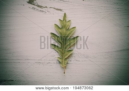 Oak tree leaves on white wooden background. Green oak leaf texture and background for designers. Close up view of green oak tree leaves on white wood. Organic background. Leaf textured.