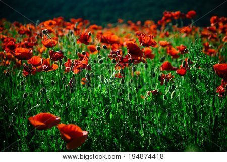 poppy field. red flower on green stem as background summer and spring drug and love intoxication opium