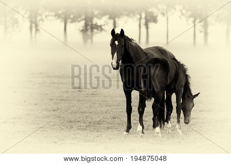 Antique Plate Photography Of Two Horses, Mother With Foal, Standing In Misty Field.