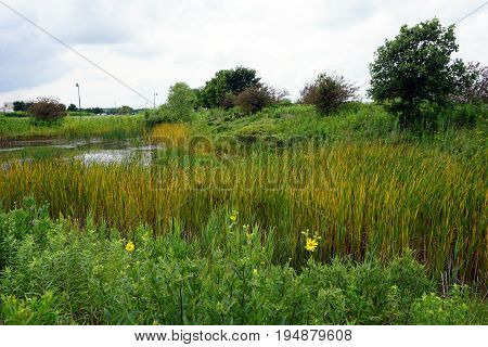 Common cattails (Typha latifolia), also called broadleaf cattails, bulrushes, great reedmace, cooper's reed, and cumbungi, grow in a retention pond in Plainfield, Illinois during June.