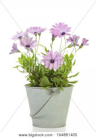 Violet African Daisy flowers potted in tin bucket isolated on white background