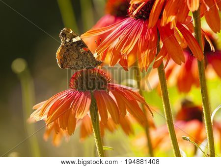 Red Admiral butterfly feeding on vibrant orange Echinacea blossom