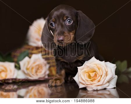 puppy of a dachshund of chocolate color, a coffee puppy