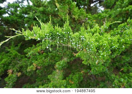 A branch of a juniper tree growing in Plainfield, Illinois during June.
