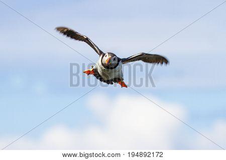 British Puffin Seabird (fratercula Arctica) From Skomer Island, Pembrokeshire, Wales Uk