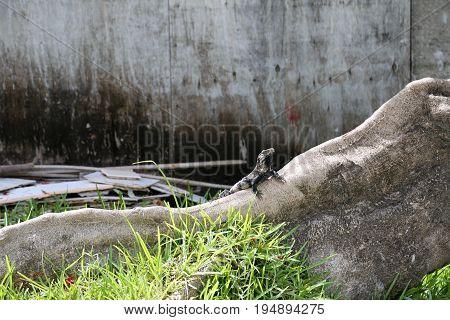 Iguana enjoying in the sun in San Pedro, Belize