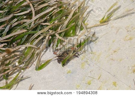 Crab swimming in the Caribbean in San Pedro, Belize