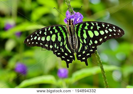 A tailed jay butterfly arrives in the gardens and lands on a flower.