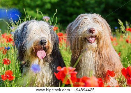 Portrait Of Two Bearded Collies In A Poppy Field