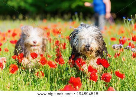 Bearded Collies Run Through A Poppy Field