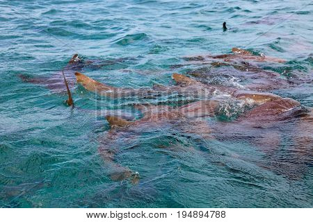 Sharks coming up for food in the Caribbean, Belize