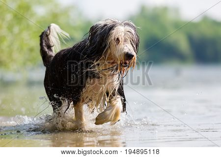 Bearded Collie Running Through The Water