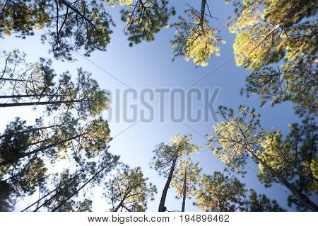 Frame of leafy green canopies on trees surrounding a clearing in a forestry plantation against a clear sunny blue summer sky with copy space